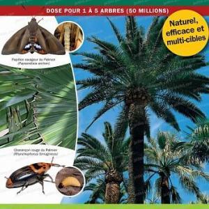 Nematode contre le papillon du palmier Paysandisia Archon