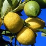 Citron - Huile Essentielle