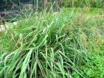 Lemongrass - Huile Essentielle Certifiée Bio