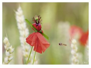 Coquelicot: une photo de Gilbert Hayoz