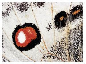 Papillon apollon: une photo de Gilbert Hayoz