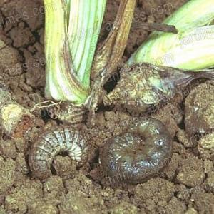 Nematode anti vers gris et carpocapses