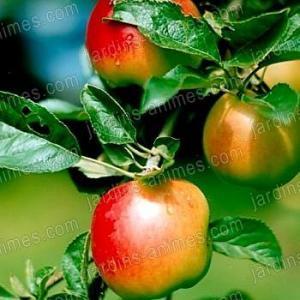 Phéromone Carpocapse pommes poires (2 capsules)