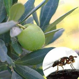 Phéromone pour mouche de l olive (2 capsules)
